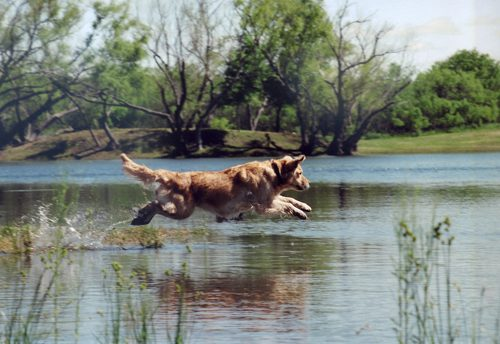 Golden Retriever leaping into water at a hunt test in San Antonio, TX.